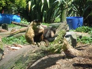 動物園にいる動物の中ではかなり恵まれたサルたち